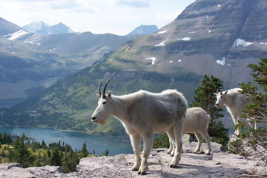 white goats in the Glacier National Park