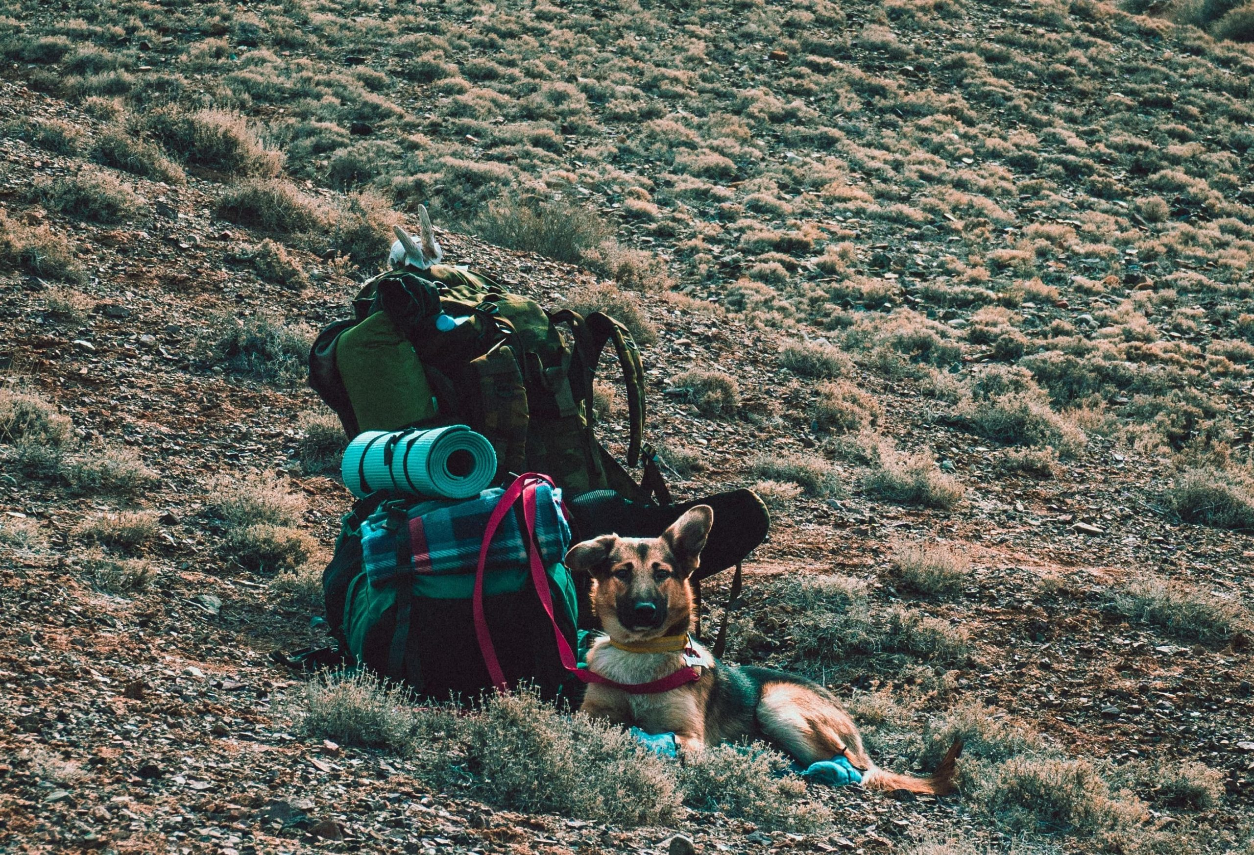 shepherd dog in the desert with a backpack