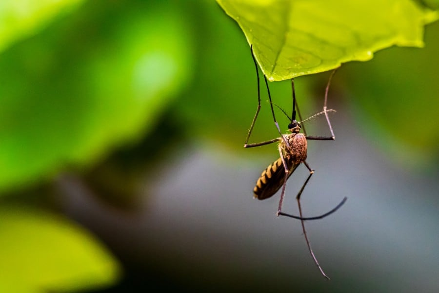 brown mosquito hanging on a leaf